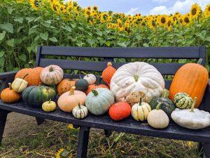 East-Grange-Farm-Pumpkin-Patch